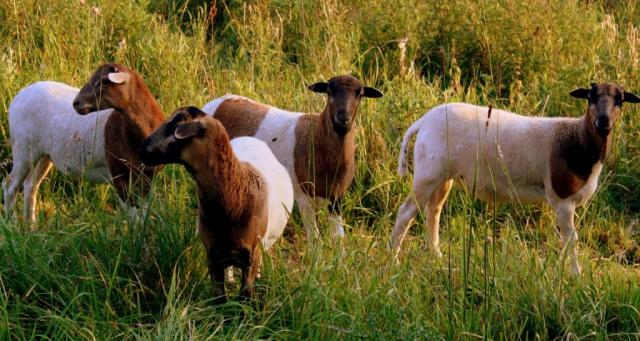 Tiere|Schafe|Seitenheader