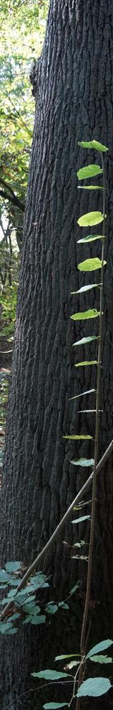 Langer Baum