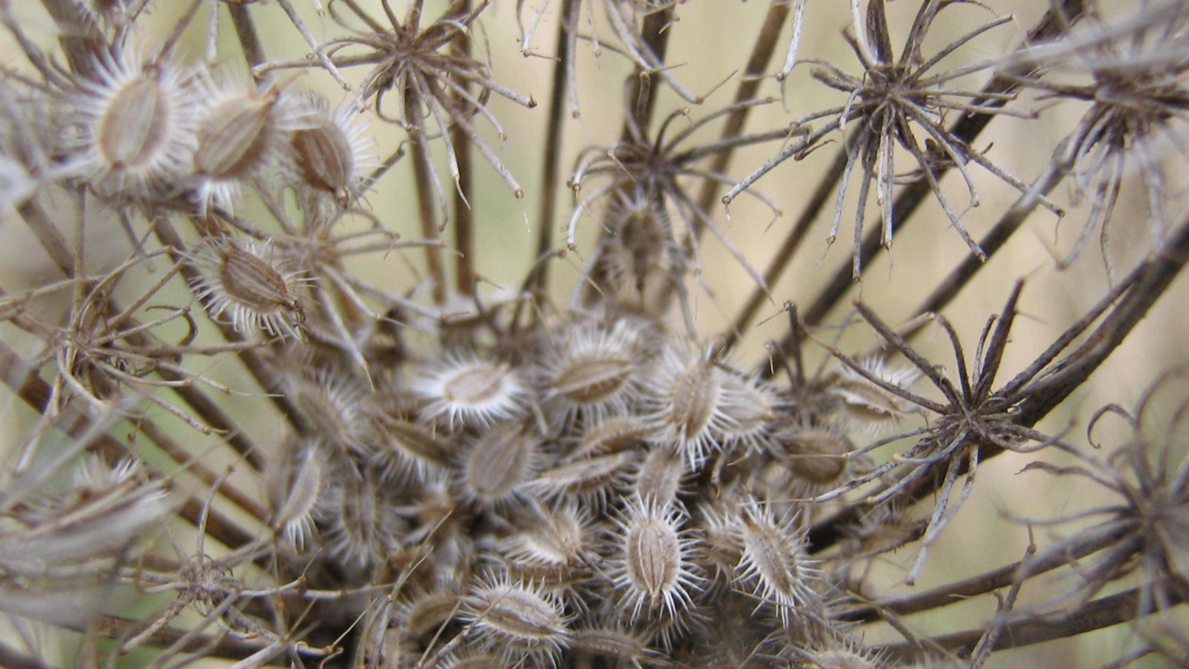 Herbst|Tockenblumen|Seitenheader
