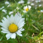 Gaensebluemchen|Seitenheader