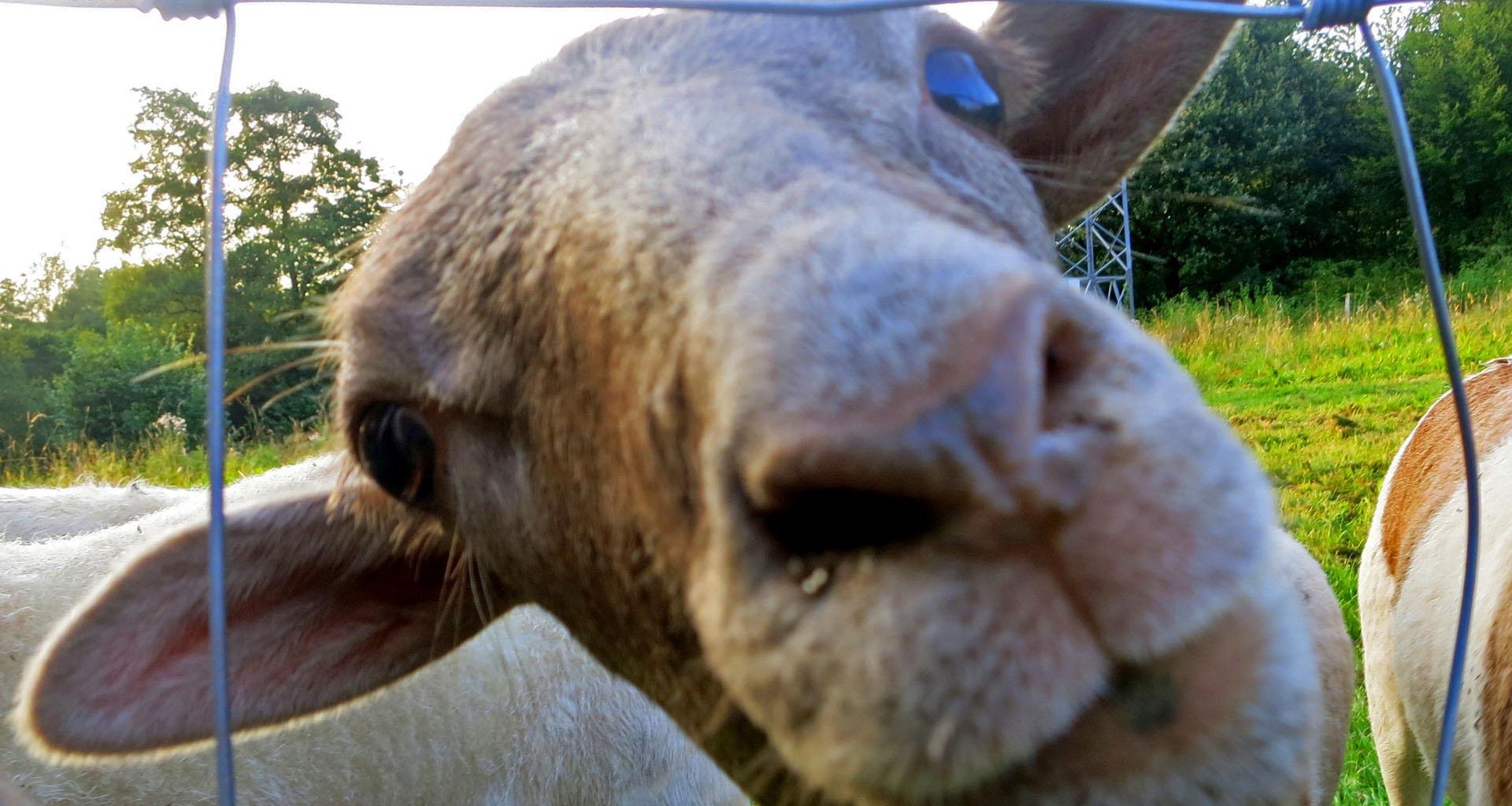 Schafe|Capuccino|Zauberwaldgarten