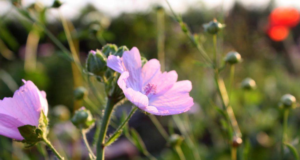 Blumen|Sommer|Impressionen