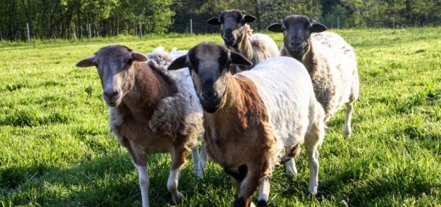 Schafe|Fellwechsel
