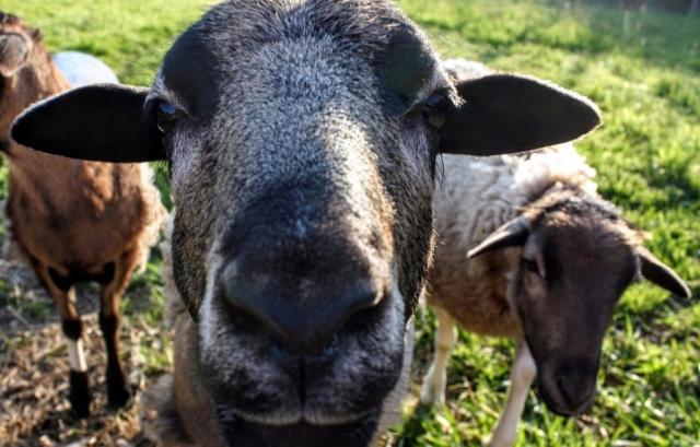 Sternchen,Schafe